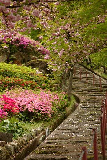 十可苑の春~八重桜4
