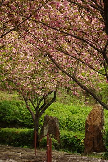 十可苑の春~八重桜5