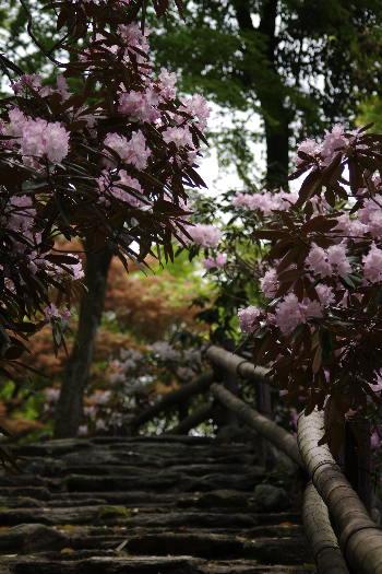 十可苑の春~シャクナゲ 5