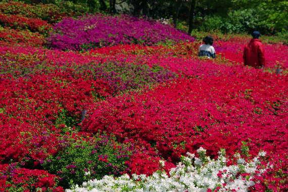 十可苑の春~つつじ 5
