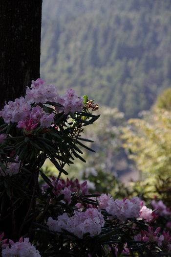 浄徳寺のシャクナゲ 9