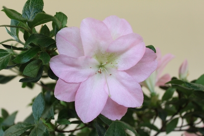 新峰の多弁咲き003_2