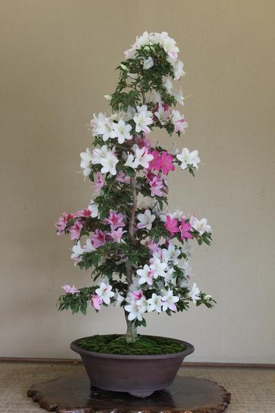 雅姫、樹高86cm、幹回り9cm013_2