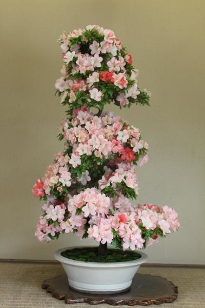 愛花、樹高100cm、幹回り13cm012_2