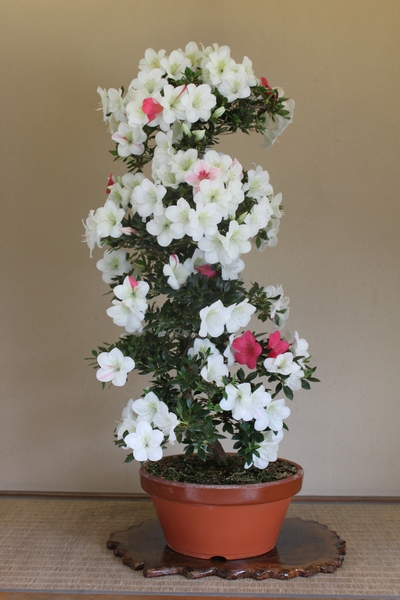 亜輝姫、樹高110cm幹回り10cm007_2