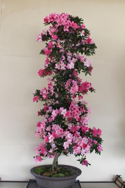 桃香、樹高130cm、幹回り15cm007_2