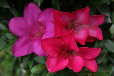 三姉妹(赤の2色咲き)027_2
