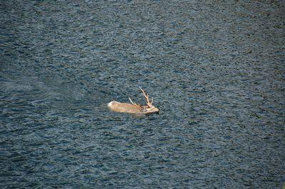 エゾシカ泳ぐ