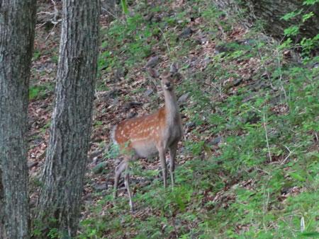 早朝の鹿たち1