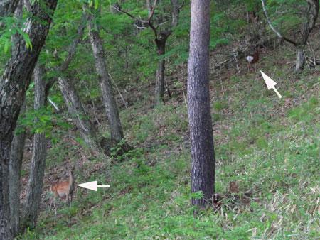 早朝の鹿たち2