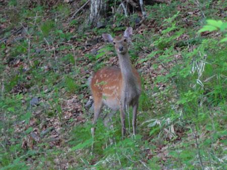 早朝の鹿たち4