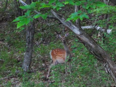 早朝の鹿たち6