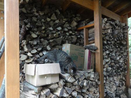 薪小屋のマロン8