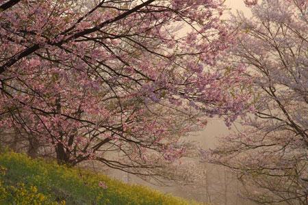 sakura-rikugo.jpg