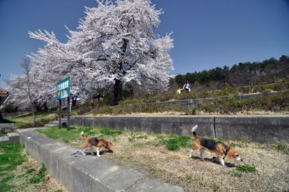 115桜とワンズ2