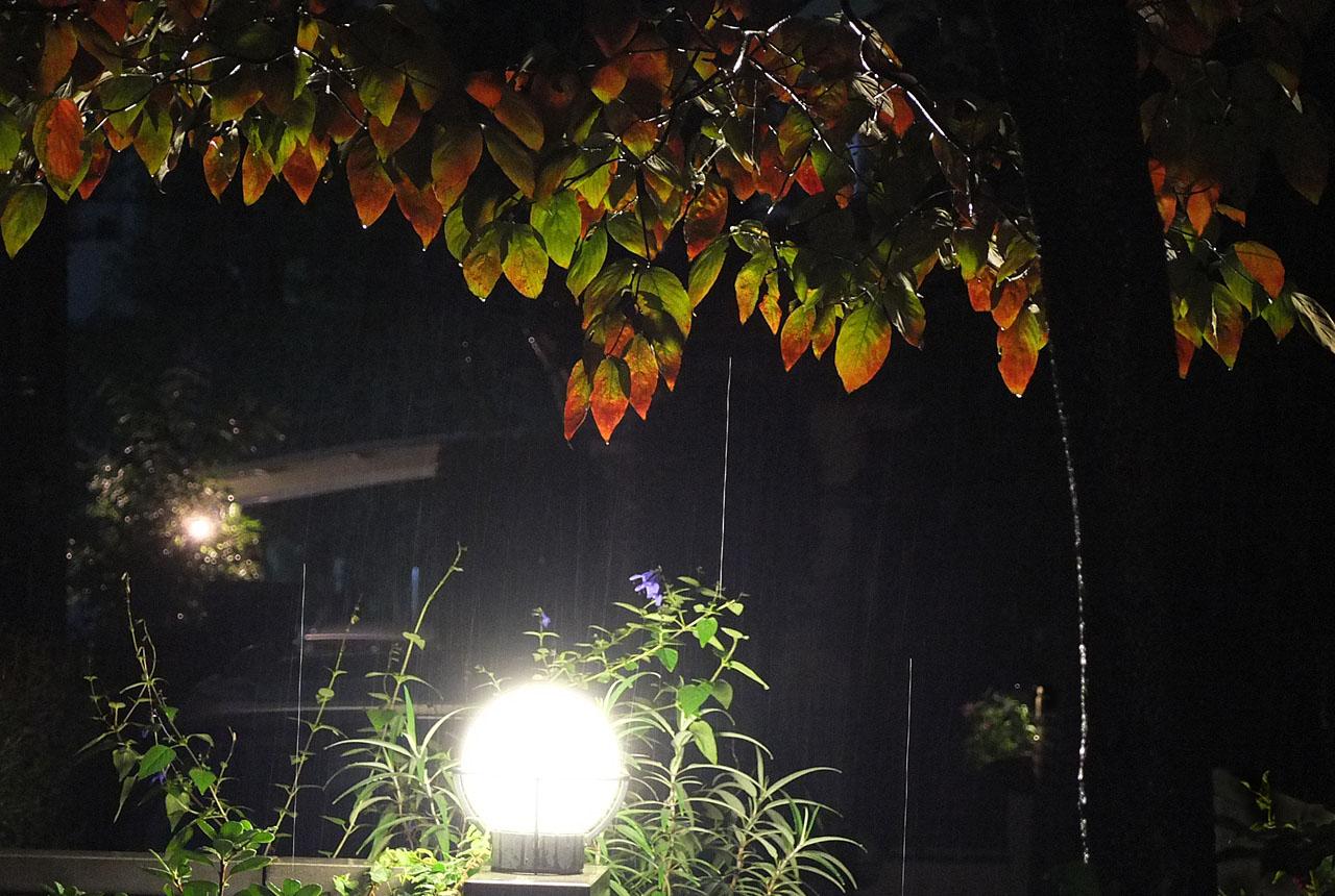 2668 夜来の雨のハナミズキ 1280×860