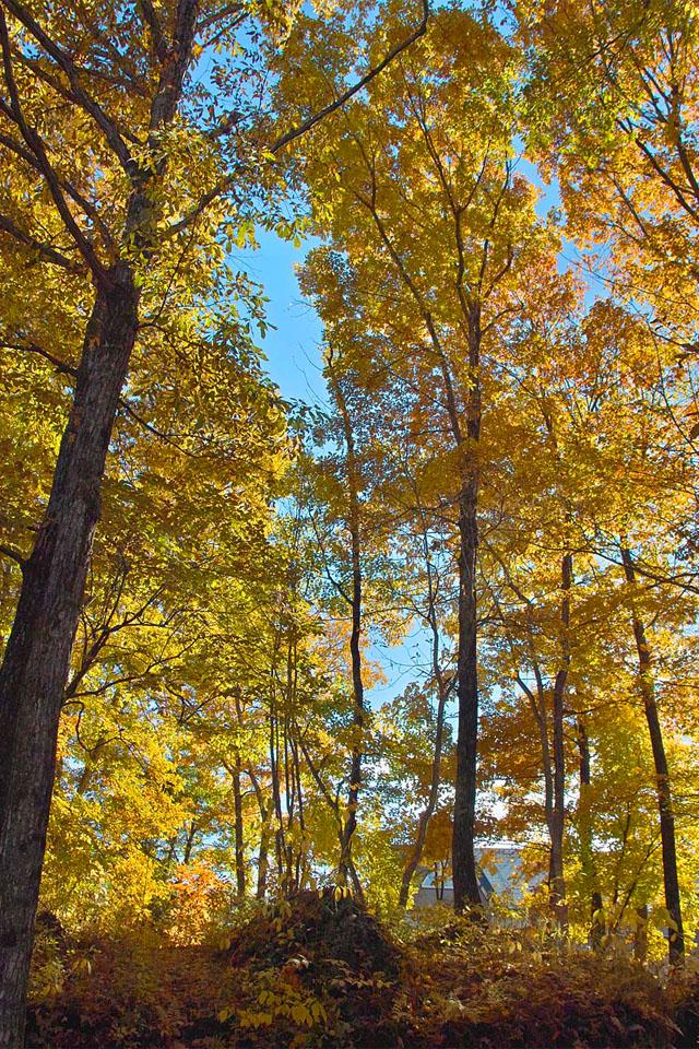 7857 黄葉の林 640×960