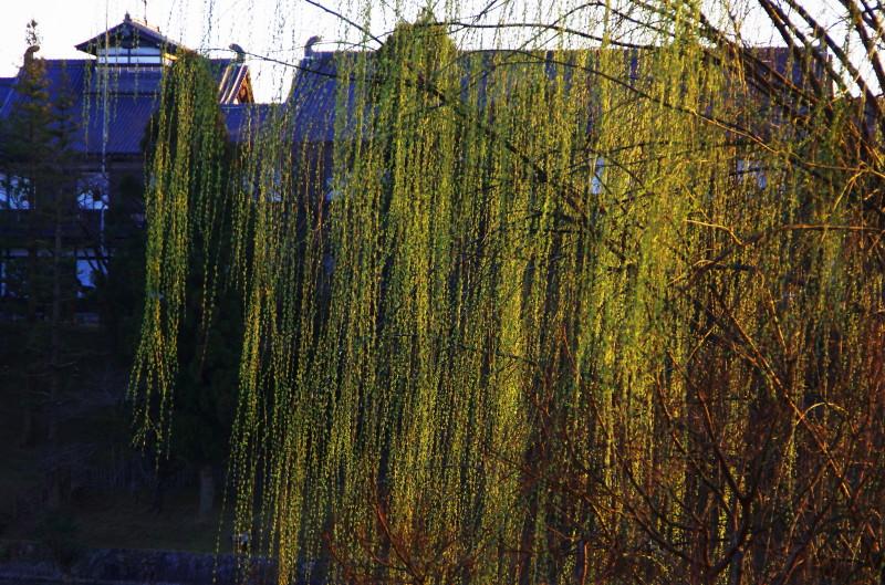 奈良公園 柳