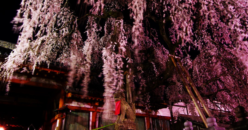 氷室神社 風にゆれる枝垂