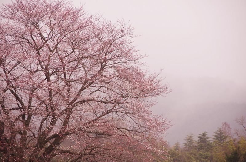 幾坂池の桜2