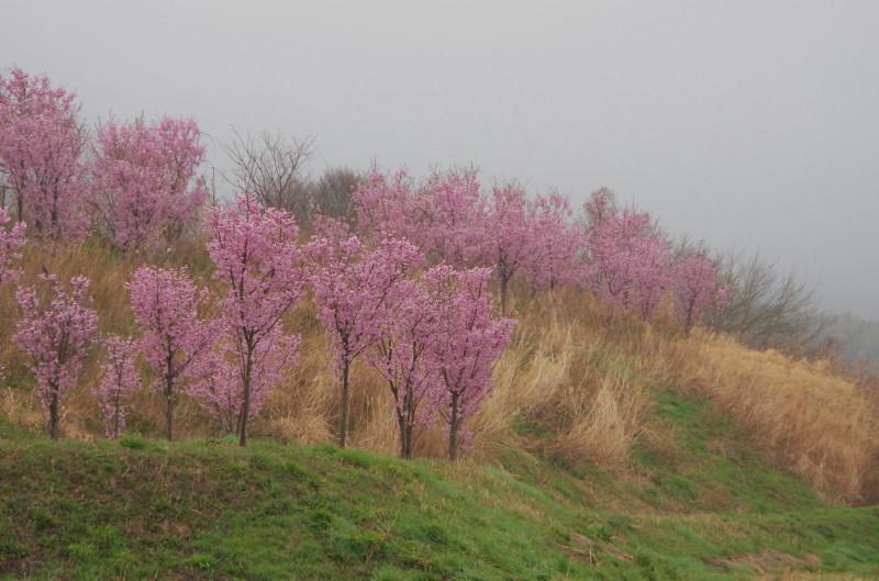 幾坂池 桃の花