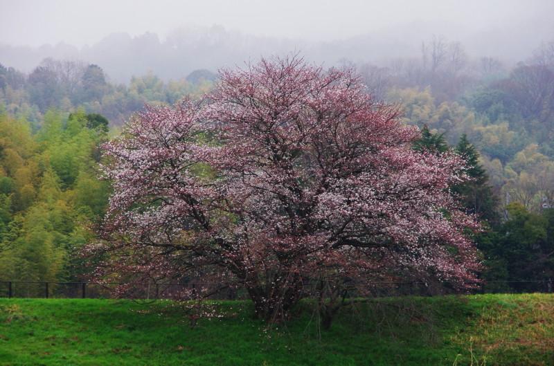 幾坂池の桜_1