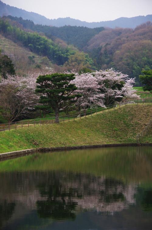やまのべ 崇仁天皇陵 桜3
