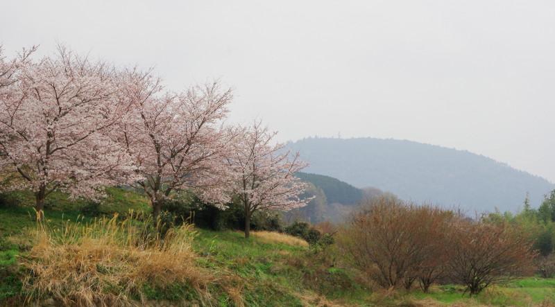 やまのべ 三輪山と桜