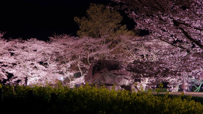 石舞台 桜 菜の花