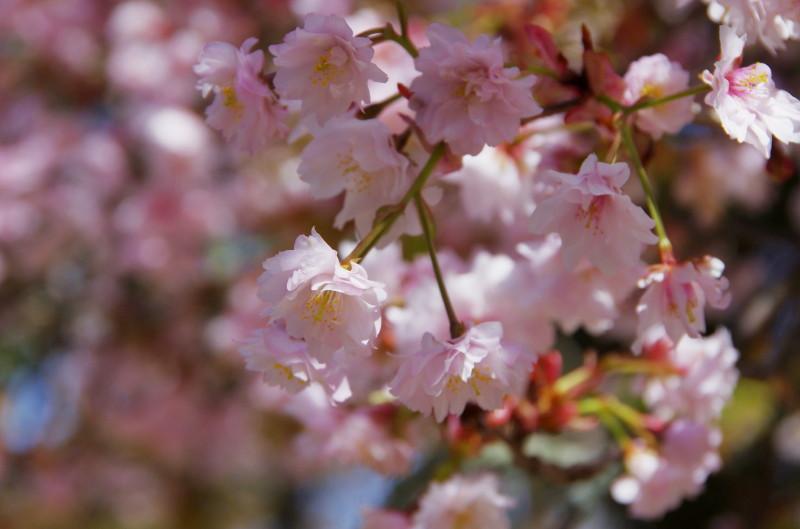 ならの九重桜