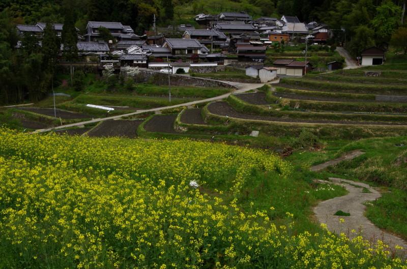 狛 菜の花3