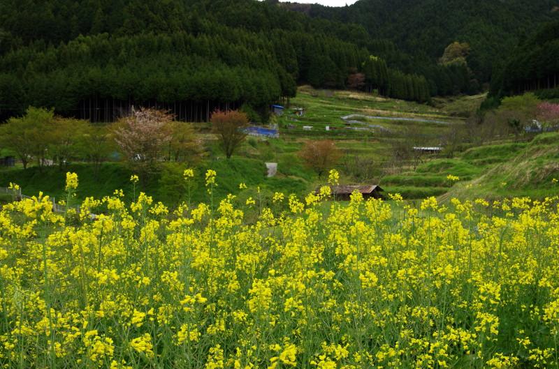 狛 菜の花4