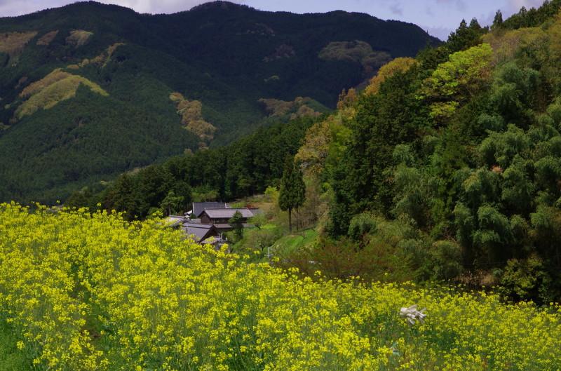 狛 菜の花1