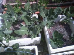 4-20茎ブロッコリー