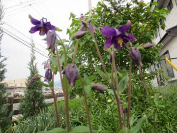 紫オダマキ
