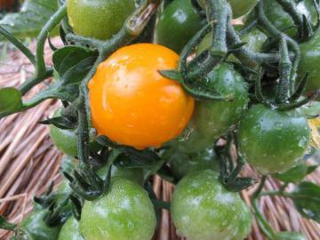 ミニトマト黄色