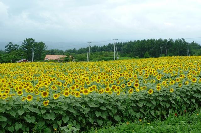 0_Sun_Flower_0815_2012.jpg