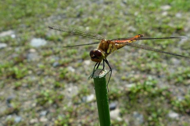 11_Dragonfly.jpg