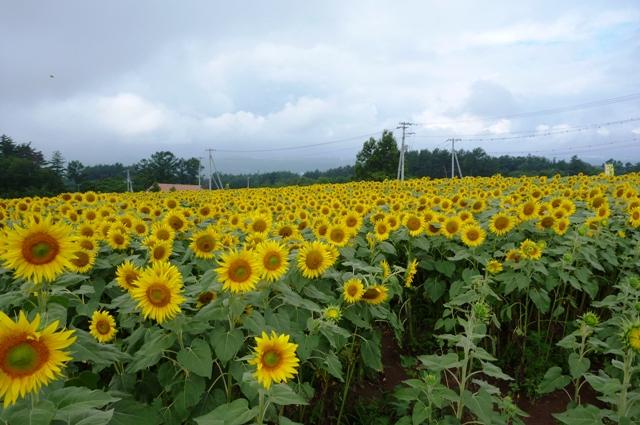 2_Sun_Flower_0815_2012.jpg