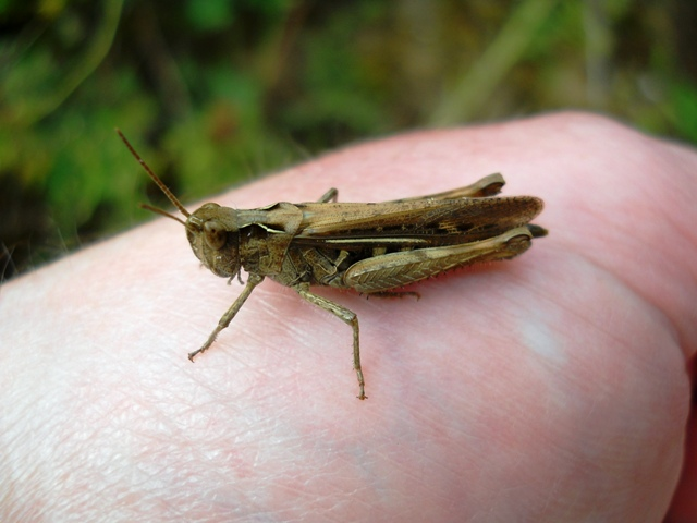 Grass_Hopper.jpg