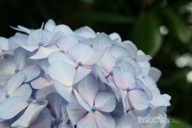 IMG_9387アジサイ1