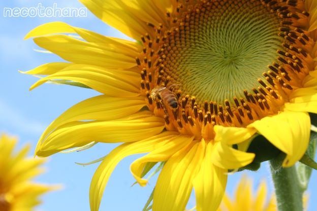 IMG_9972ミツバチ5