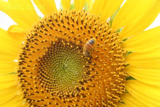 IMG_0015ミツバチ9