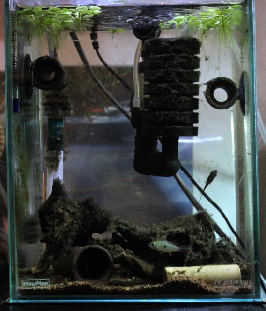 エリスルラ水槽1