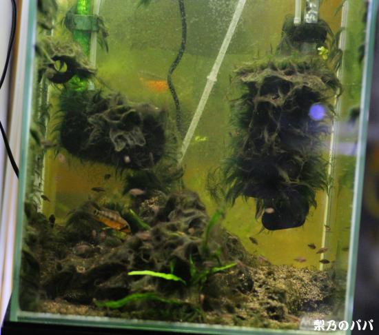 cf.ペルソナータ稚魚水槽1