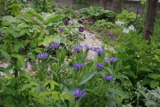 紫オダマキ (3)
