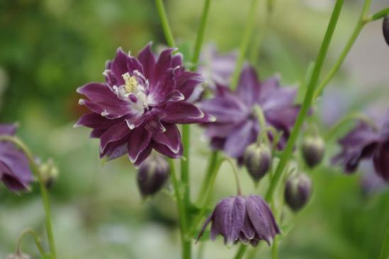 紫オダマキ (2)