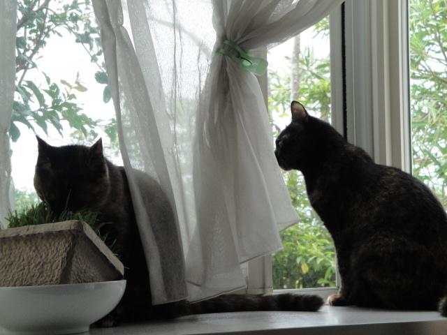 お外を眺めるコウメと猫草を食むセリ