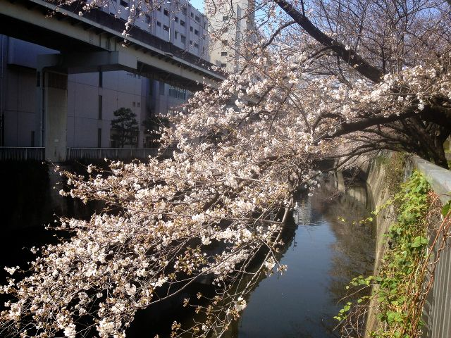 神田川桜1