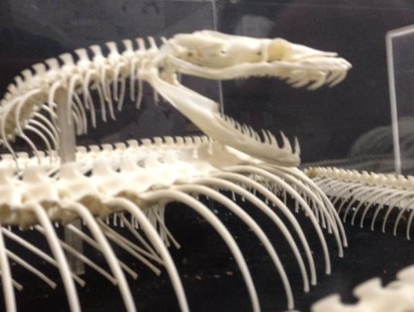 ニシキヘビの骨